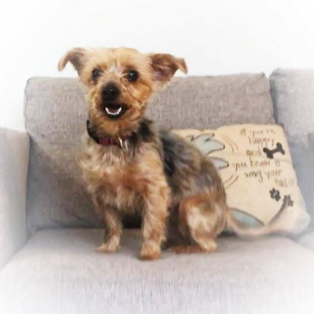 50 Dollar Yorkie Puppies Adoption – Daily Motivational Quotes